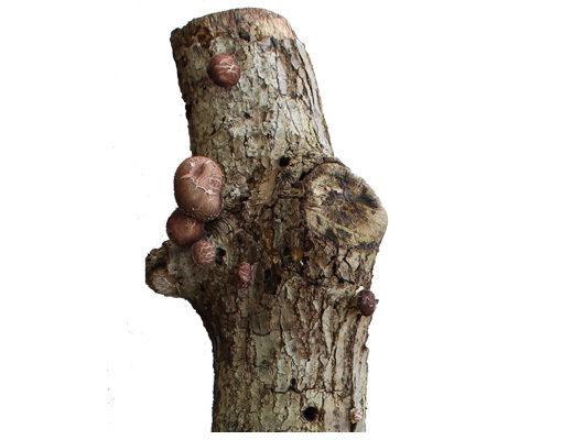 Mico-log-tronco-productor-shiitake-hifas-da-terra